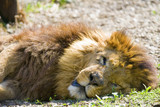 Lion is sleeping in the sun at feline rescue center in Indiana poster