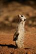 Alert meerkat (Suricata suricatta), South Africa