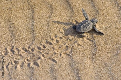 Cría de tortuga boba (Caretta caretta) - 9097017