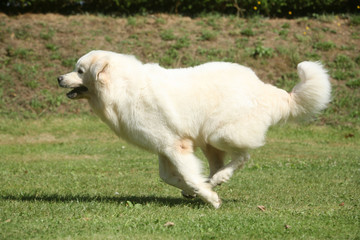 Berger de Podhale en sprint