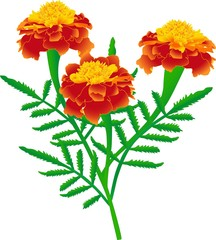 Flower of yellow-red marigolds  (rasterize from vector)