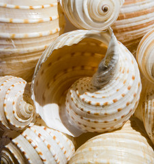 Striped spiral shell