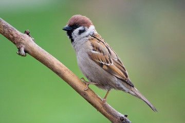 bird - tree sparrow (aka passer montanus)1