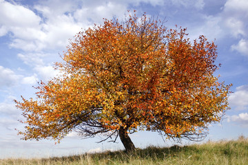 autumn apple-tree on background of blue sky