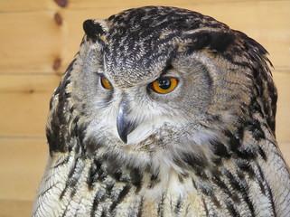 The owl waits