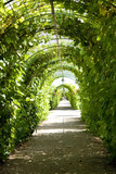 Pathway in garden grapes growing along gardened in arched shape poster