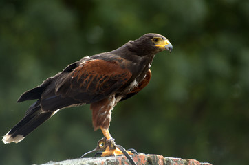 Harris Hawk , perching looking for food