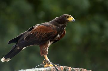 Harris Hawk , perching looking for food