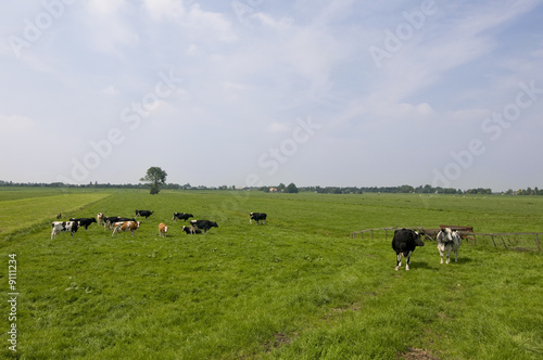 cattle cows in Dutch landscape