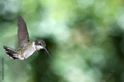 Leinwanddruck Bild Hummingbird watching the watcher