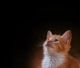 red fluffy kitten on black background poster