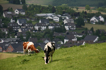 Kühe im Sauerland