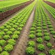 roleta: View of rows of green and red lettuces.