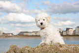 A cute bichon frise puppy at the sea poster