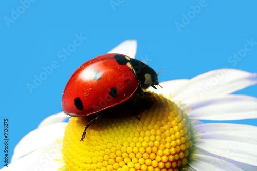 Leinwandbild Motiv red summer ladybug on camomile under blue sky