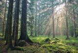 Sunlight shinning across spruce trees poster