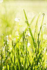 close-up of grass with dewdros, very shallow focus............