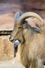 Photo of the zoo animals - goat