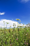 Summer meadow with wildflowers and blue sky poster