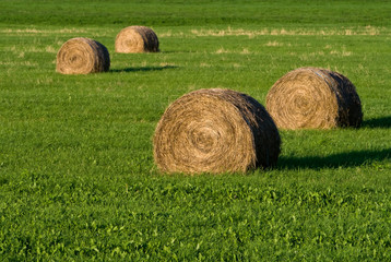 A cluster of round hay bales sit in a field at sunset.