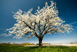 Single blossoming tree in spring.