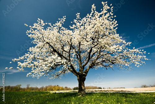 Plexiglas Kersen Single blossoming tree in spring.