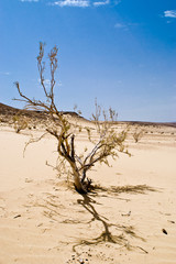 dry tree in the sand desert