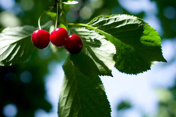 Ripe red cherries and green leaves