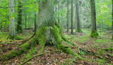 Old spruce tree with big roots in summertime forest poster