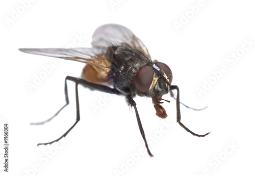 Close-up uf a fly isolated on white