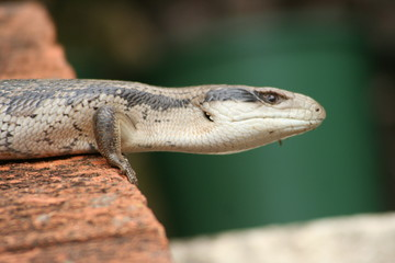 Blue-tongued lizard centered in image..
