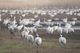 Migrating grey cranes over lake at spring on the way back poster