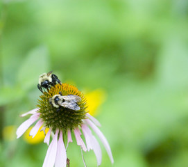 Tow bees collecting pollen on a flower