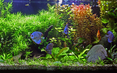 A planted freshwater aquarium with Discus Fish.