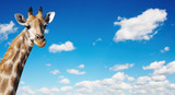 Giraffe's neck against blue sky background