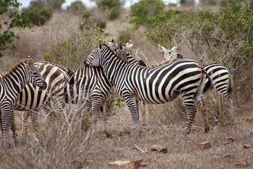 branco di zebre II