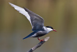 Pirched Whiskered Tern with wings facing backwards poster
