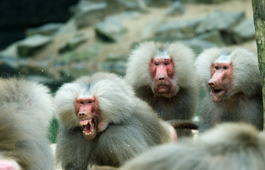 baboon monkey in a fight with two monkeys looking suprised