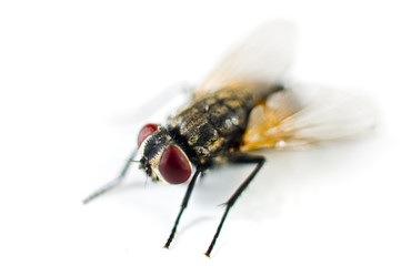 close up of a fly isolated on white