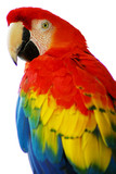 Fototapety Red Blue Macaw Bird Isolated