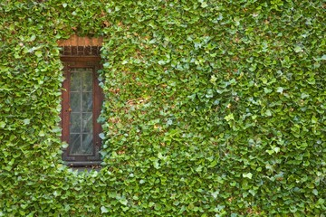 Ivy around window