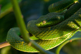 the poisonous green viper on a tree poster