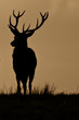 Red Deer (Cervus Elaphus) On Guard