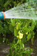 Vegetables being sprayed with water from a sprinkle