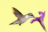 Juvenile Ruby-throated Hummingbird poster