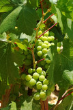 Cluster of grapes on a grapevine