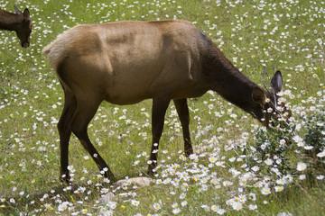 Elks grazing on a meadow