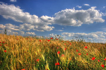 On photo red poppy in wheat on background sky