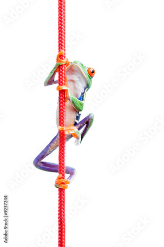 frog climbing up a rope closeup isolated on white