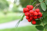 Ripe rowan berries on a tree with a copy space